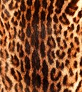 Closeup view characteristic ocelot pattern back Royalty Free Stock Photos
