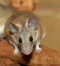 Closeup view of curious african grass rat Royalty Free Stock Photos