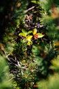 Closeup view of European holly growing amongs pine trees.