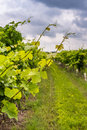 Closeup view of grapevine with vineyard in background Royalty Free Stock Photo