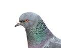 Closeup View Of Grey Pigeon Head