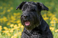 Closeup view of the head of the Giant Black Schnauzer Dog Royalty Free Stock Photo