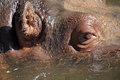 Closeup view of a hippopotamus in water details the face amphibius the Royalty Free Stock Photos