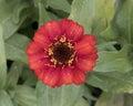 Closeup view orange zinnia profusion bloom Royalty Free Stock Photo