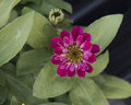 Closeup view red purple Zinnia profusion bloom Royalty Free Stock Photo