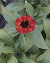 Closeup view reddish orange Zinnia profusion bloom Royalty Free Stock Photo