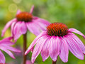 Closeup view of wet, pink coneflower Royalty Free Stock Photo