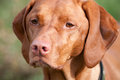 Closeup of a vizsla dog purebred stares off into the distance Stock Photography