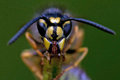 Closeup of wasp Vespula vulgaris Royalty Free Stock Photo