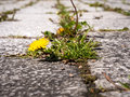 Closeup of weeds growing and sprouting between gaps on courtyard Royalty Free Stock Photo