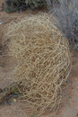 Closeup of a Western USA Tumbleweed Royalty Free Stock Photo