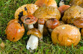 Closeup of wet mushrooms red cap scaber stalk Stock Photo