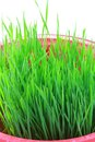 Closeup of wheatgrass sprouts isolated on white background Royalty Free Stock Photography
