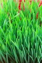 Closeup of wheatgrass sprouts on red background Royalty Free Stock Image