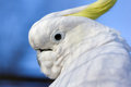 Closeup of white cockatoo bird portrait a lesser sulphur crested cacatua sulphurea against background the blue sky the lesser Royalty Free Stock Photo