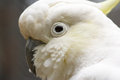 Closeup of white cockatoo bird portrait a lesser sulphur crested cacatua sulphurea the lesser sulphur crested also known as yellow Stock Image