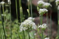 Closeup of white flowers of the garlic chives Allium tuberosum . Medicinal plants, herbs in the organic garden