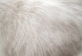 Closeup white persian cat fur texture  background Royalty Free Stock Photo