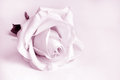 Closeup of white rose pink toned Royalty Free Stock Photo