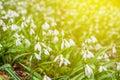 Closeup white snowdrops Royalty Free Stock Photo