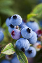 Closeup of wild blueberries growing in a field. Royalty Free Stock Photo