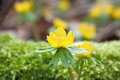 Closeup on winter aconite or wolf s bane eranthis hyemalis Stock Images