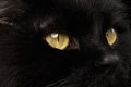 Closeup Yellow Eyes of Black Cat Snout on Background Royalty Free Stock Photo