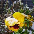 yellow pansies Viola wittrockiana covered with snow and ice Royalty Free Stock Photo