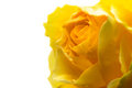 Closeup of Yellow Rose on Black Royalty Free Stock Photo