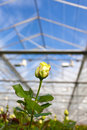 Closeup of a yellow rose inside a greenhouse Royalty Free Stock Photo