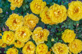 Closeup of Yellow Roses