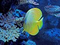 Yellow Sea Fish with Coral  on Nature Background