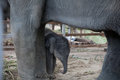 Closeup young elephant protected by mother elephant, Thailand Royalty Free Stock Photo