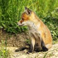 Closeup of young red fox Royalty Free Stock Photo