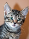 Closeup of Young Short-Haired Grey Tabby Kitten Royalty Free Stock Photo