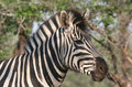 Closeup of zebra's head Royalty Free Stock Photo