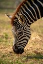 stock image of  Closeup of a zebra eating grass.