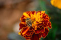 Closeup Zinnia flower and bee Royalty Free Stock Photo