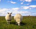 Closup of two sheep in a field on a bright sunny day blue sky white clouds green grass one grazing one looking directly at the Stock Photo