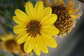 Closup Of Yellow Flower With R...
