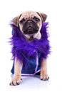 Clothed pug looking at the camera Royalty Free Stock Photo