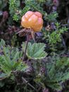 Cloudberry fresh closeup in forest Stock Photography