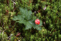 Cloudberry rubus chamaemorus berry and leaf Royalty Free Stock Image