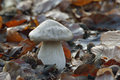 Clouded agaric fungus clitocybe nebularis young specimen Stock Photo