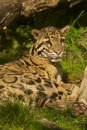 Clouded leopard Royalty Free Stock Photos