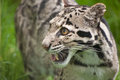Clouded leopard Neofelis Nebulova big cat portrait Royalty Free Stock Photography