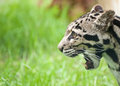 Clouded leopard Neofelis Nebulova big cat portrait Royalty Free Stock Photos