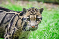 Clouded leopard Neofelis Nebulova big cat portrait Stock Photos