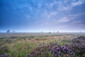 Clouded morning over marsh with heather flowers fochteloerveen netherlands Royalty Free Stock Images