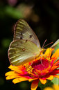 Clouded Sulphur Butterfly Closeup Royalty Free Stock Photo